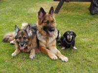 Lizzy GSD needs a home Signature1